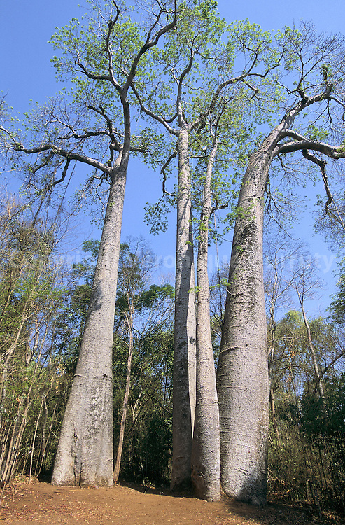 Il s'agit des derniers spécimens en vie de l'espèce Baobab andansonia madagascariensis bomaensis...Il s'agit des derniers spécimens en vie de l'espèce Baobab andansonia madagascariensis bomaensis.