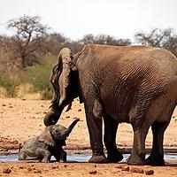 Africa, Namibia, Etosha. Mother helps baby elephant out of a water hole in Etosha National Park.