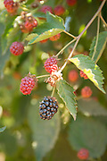 Kiowa Blackberries