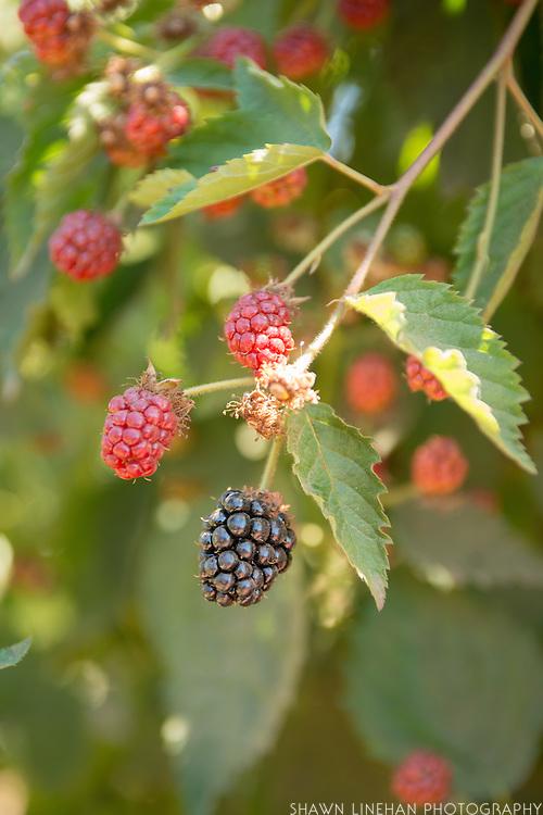 Kiowa Blackberries
