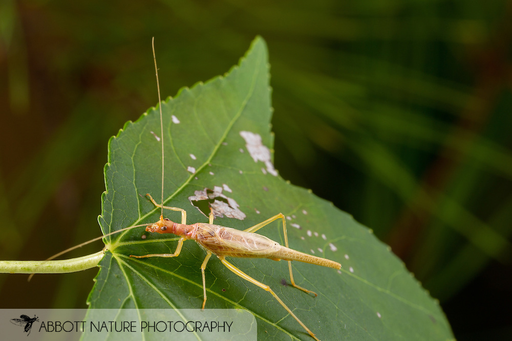 Two-spotted Tree Cricket (Neoxabea bipunctata) - male<br /> United States: Alabama: Tuscaloosa Co.<br /> Tulip Tree Springs off Echola Rd.; Elrod<br /> 3-Jul-2016<br /> J.C. Abbott #2843 &amp; K.K. Abbott