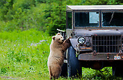 Bear Going For A Drive