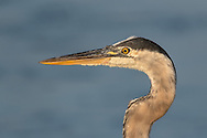 A great blue heron in the sweet SoCal light!
