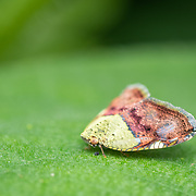 Ricanula stigmatica of the family Ricaniidae. Ricaniidae is a family of hemipteran insects in the planthopper superfamily Fulgoroidea