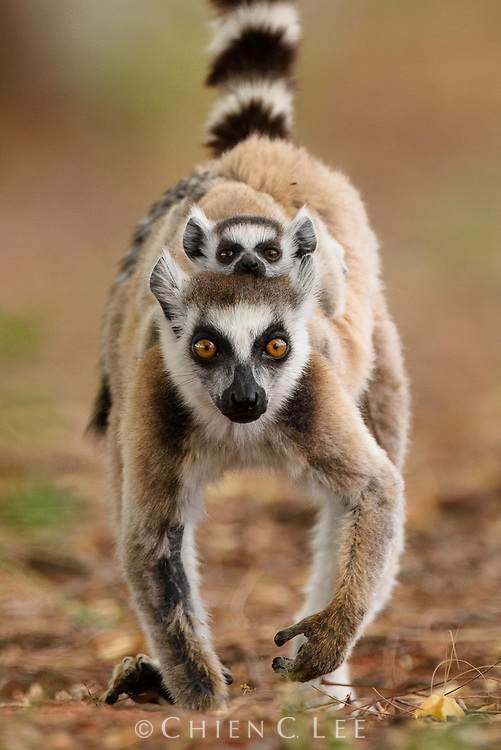 Young Ring-tailed Lemurs (Lemur catta) will transition from riding on the belly to the back of their mother after 4-6 weeks of age. Toilara, Madagascar.