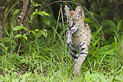 Serval<br /> Felis serval<br /> 13 week old orphan kitten carrying mouse<br /> Tanzania