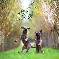 Pan and Kanga, the Border Terrier puppies Highlights of images of dogs in the outdoors, by specialist dog photographer Rhian White.