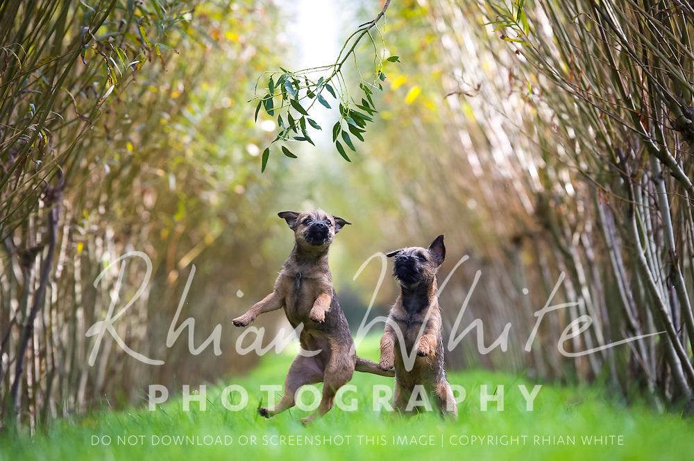 Pan and Kanga, the Border Terrier puppies