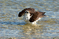 Osprey, (Pandion haliaetus), bathing along edge of beach, taken from Causeway between Fort Myers and Sanibel Island, Florida