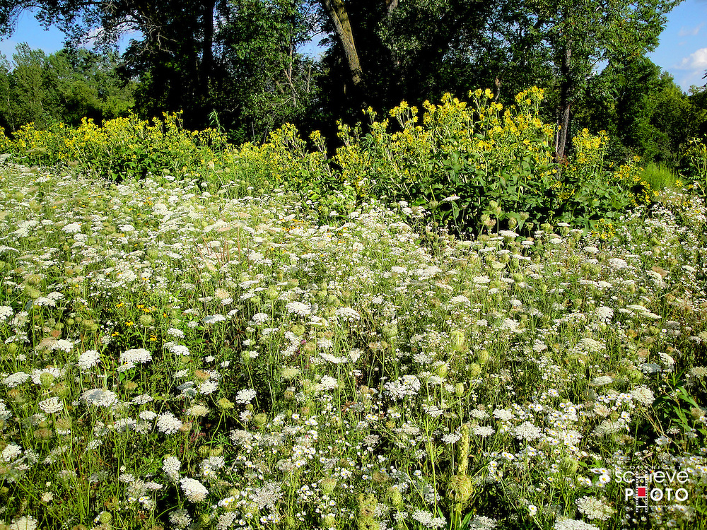 A field of Queen Anne's Lace in a park near home.