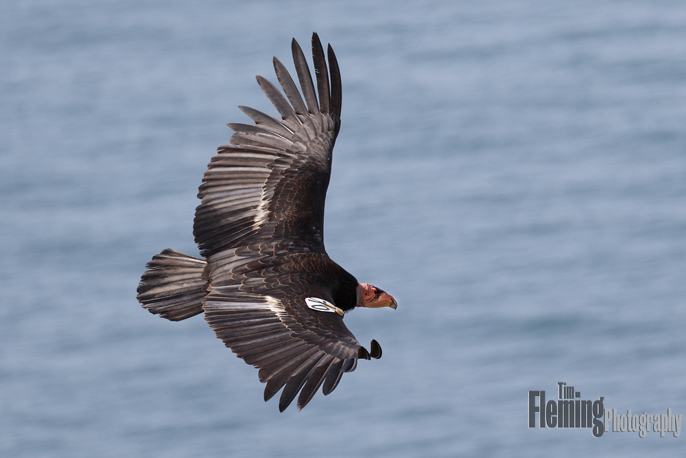 Above Big Sur, an endangered California condor looks for carrion