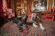 Two Irish Wolfhounds rest inside Ashford Castle, a 13th century castle turned into a 5 star luxury hotel located in Cong, Ireland.