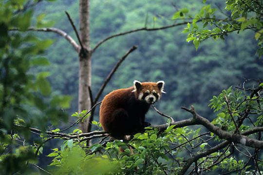 Red Panda, (Ailurus pulgens) In tree. Wolong Natural Reserve. Sichuan, China. Captive Animal.