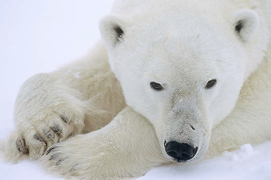 Polar Bear, (Ursus maritimus)  Portrait. Cape Churchill, Manitoba. Canada.