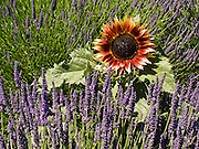 A sunflower thrives in a patch of lavender (flowering plant in the mint family, Lamiaceae). Grown at Jardin du Soleil Lavender Farm at the Sequim Lavender Festival held mid July on the Olympic Peninsula in Washington, USA.