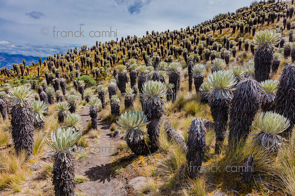Espeletia Frailejones  of the Paramo de Oceta Mongui Boyaca in Colombia South America