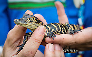 Baby alligator at the Skunk Ape Nature Reserve & Research Center in Ochopee, Florida, on U.S. Route 41.