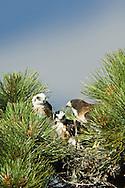 Short-tailed Hawk (Buteo brachyurus), adult female with two nestlings in nest; Arizona, (Nesting Record)