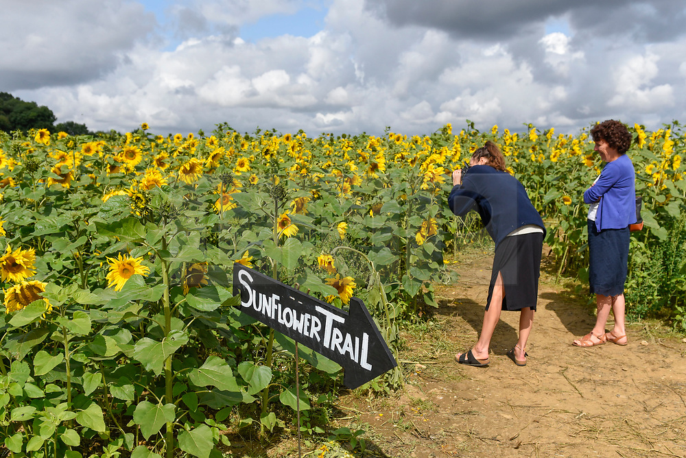 © Licensed to London News Pictures. 20/08/2019. ST ALBANS, UK.  Women view sunflowers on a dry day at Pop-Up Farm, a family run and family friendly farm that welcomes thousands of visitors each year at a series of pop-up farming festivals.  The forecast is for the temperatures to warm up ahead of the August Bank Holiday Weekend. Pop-Up Farm is the vision of Ian and Gillian Pigott who are passionate about farming, education and the environment. The Pigott family have been farming in Hertfordshire for many generations.  Photo credit: Stephen Chung/LNP