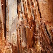 Tree stump, Glacier National Park, Montana