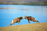 Bighorn rams fighting above Talbot Lake, Jasper National Park, Alberta, Canada in the Canadian Rockies