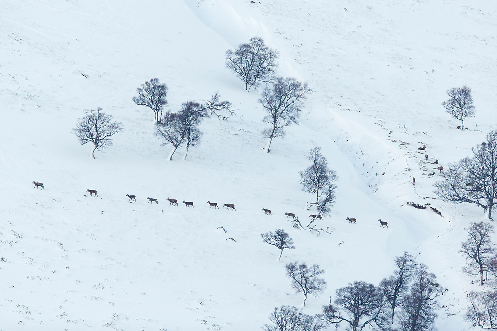 Red Deer (Cervus elaphus) line of hinds and young stags walking across snow-covered hillside, Scotland