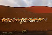 Espagne. Iles Canaries. Lanzarote. le parc National de Timanfaya, excursion à dromadaire sur le volcan. // Spain. Canary islands. Lanzarote. Parque Nacional (national park) de Timanfaya, camels.