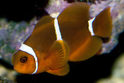 Maroon Clownfish, Premnas biaculeatus.