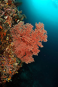 Fan coral (Gorgonacea) with open polyps. Raja Ampat, West Papua, Indonesia, Pacific Ocean