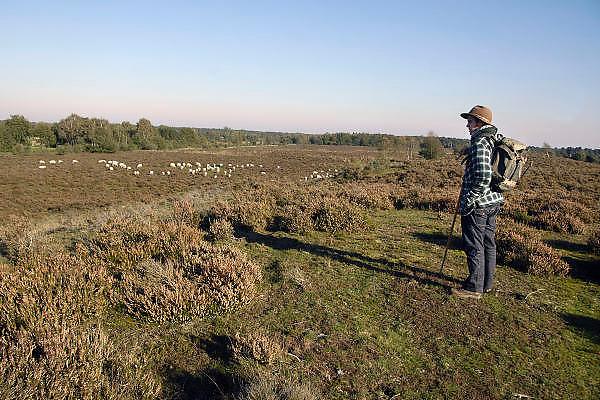 Nederland, Well, 16-10-2011In heidegebied tussen Afferden en Wellerlooi loopt een schaapskudde. De schapen begrazen de open plekken, halen het gras weg, om de hei de ruimte te geven, en het gebied op een natuurlijke manier te onderhouden. Een schaapshond houdt de dieren bij elkaar. Foto: Flip Franssen/Hollandse Hoogte