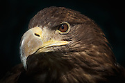 Murray - the Sea Eagle, Castle Douglas.