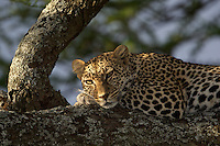 Leopard (Panthera pardus) resting in a tree with the sunset light on his face, Serengeti