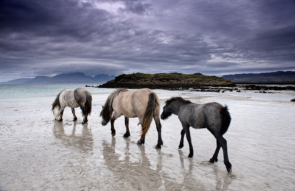 Horses on the beach at Isle of Muck Farms at the end of the road on the small island of Muck in the Hebrides of Scotland.  From here you can see the Isle of Rum. To buy this print click on the SHOPPING CART below.