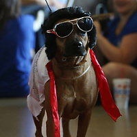 """Rufio """"The King"""" Vance dressed as Elvis for Saturday's Pet Parade put on by Dilworth Small Animal Hospital"""