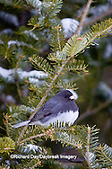 01569-01515 Dark-eyed Junco (Junco hyemalis) in spruce tree in winter, Marion Co., IL