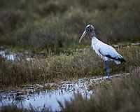Wood Storkd. Biolab Road, Merritt Island National Wildlife Refuge. Image taken with a Nikon D4 camera and 300 mm f/2.8 VR lens (ISO 100, 300 mm, f'2.8, 1/500 sec).