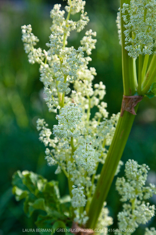 The white flowers of the rhubarb plant.