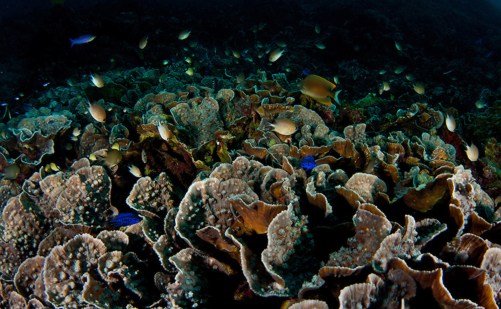 The reef and fish in the warm waters of the Philippines. In the Philippines, muck divers head straight to Dauin to begin the hunt. It is considered one of the premier muck diving locations on the planet. On a bad day at Dauin, you can spot more rare animals than a decade out on the reef...