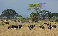 Cape buffalo breeding herd, Central Serengeti