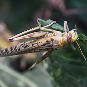 Grasshopper Annual weigh in at ZSL London Zoo on 23 August 2018, London, UK