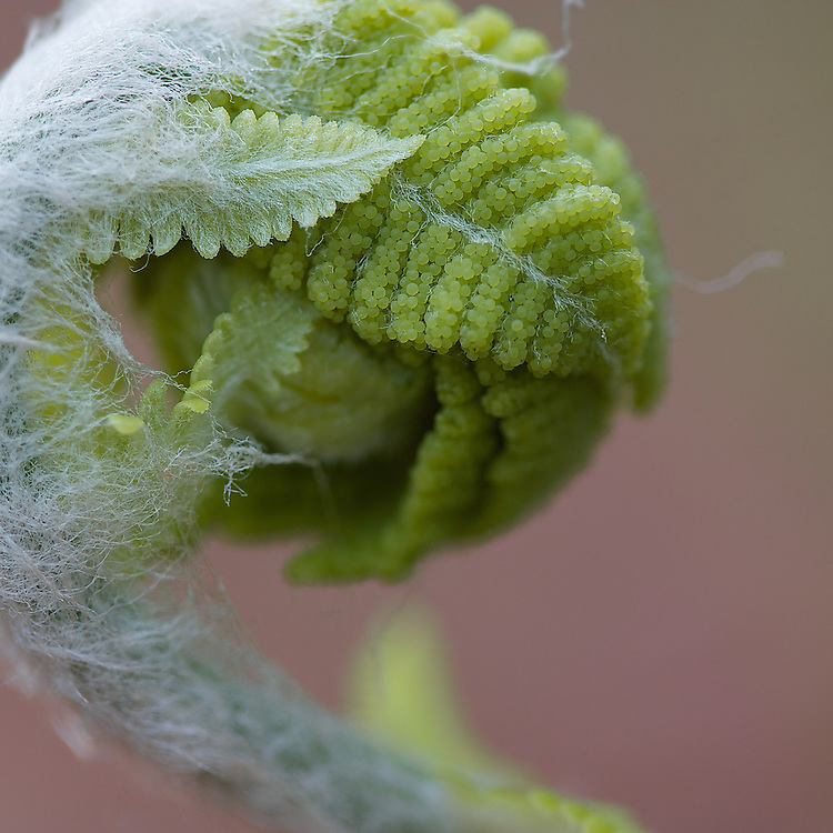 Macro photograph of an unfolding fern in the springtime.