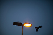 A crow is flying close to a street light at the S-Bahn station Oberursel-Stierstadt.