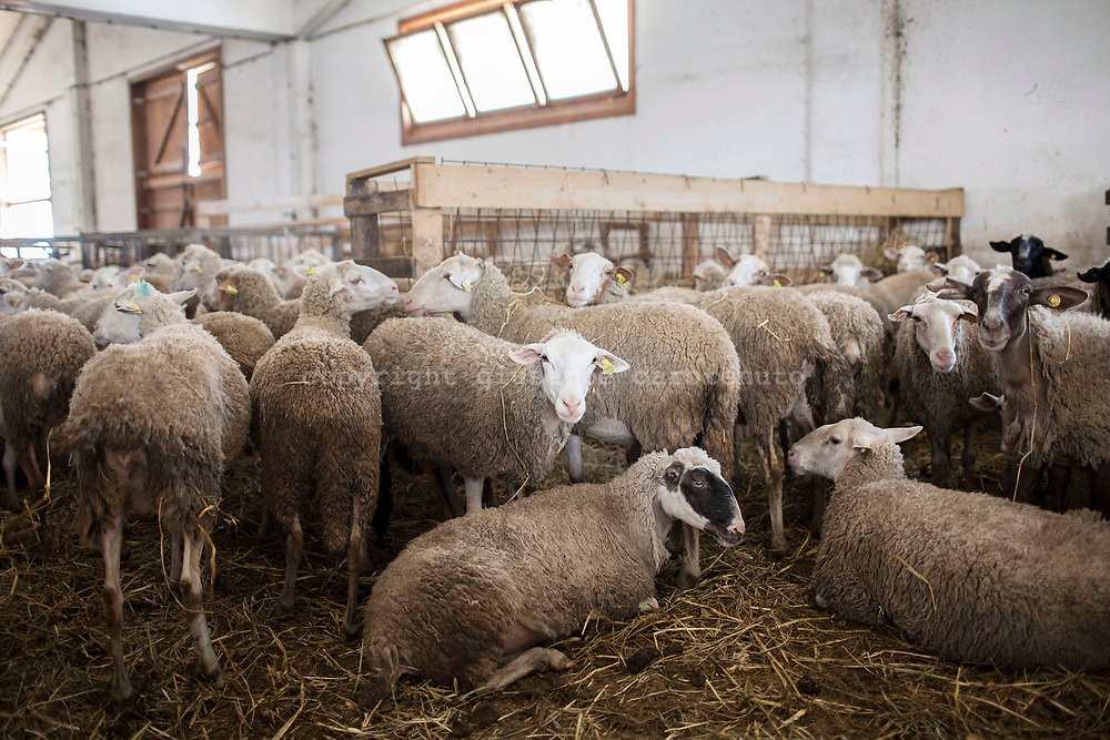 16 February 2017, Scanno - sheeps inside the stall of the Roll farm in Scanno village.