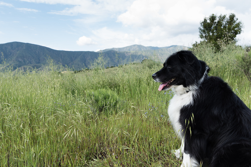 A border collie mix sits in tall grass and wildflowers with mountains in the background.