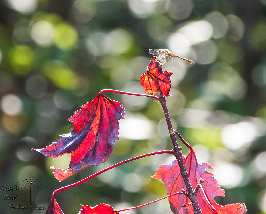 Sunlight red dragonfly drying his wings on a maple turning red during early fall.