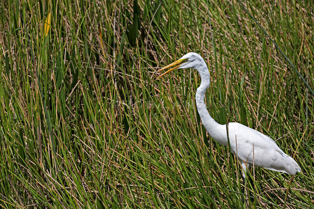 white crane walking in tall grass in The Everglades