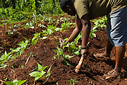 An African farmer harvests vegetables near the town of Jinja, Uganda.