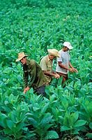 Cuba, Province de Pinar del Rio, Vallee de Vinales, Recolte du Tabac // Cuba, Region of Pinar del Rio, Valley of Vinales, Tobacco harvest