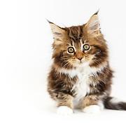 20150326 Judi Maine Coon Kittens