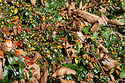 Autumn leaves in bush